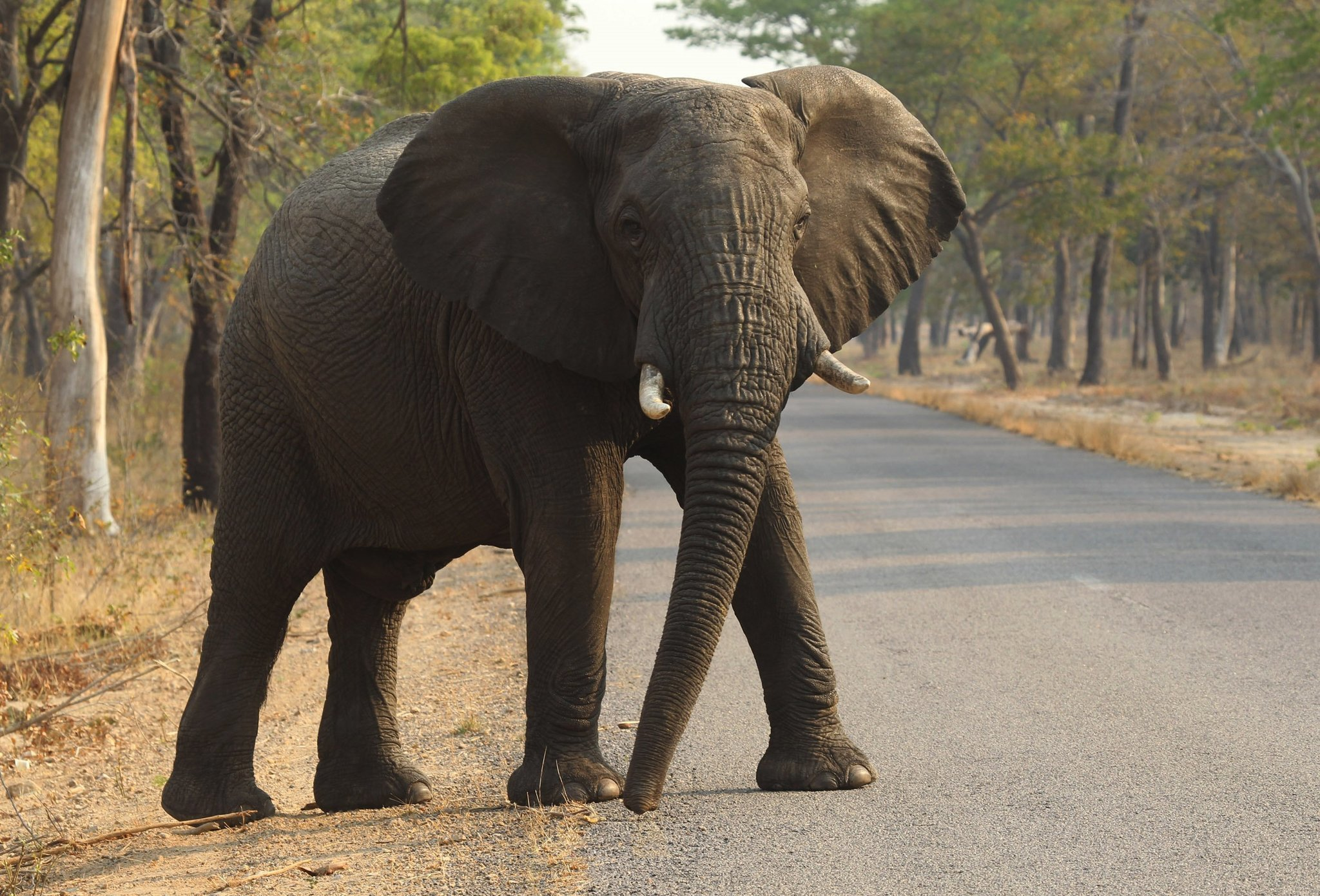 why is elephant cancer rare? answer might help treat humans - the