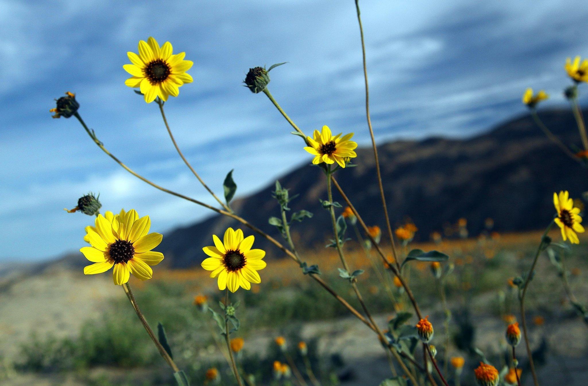 Anza Borrego Henderson Canyon Wildflowers Bloom In Borrego The San Diego Union Tribune