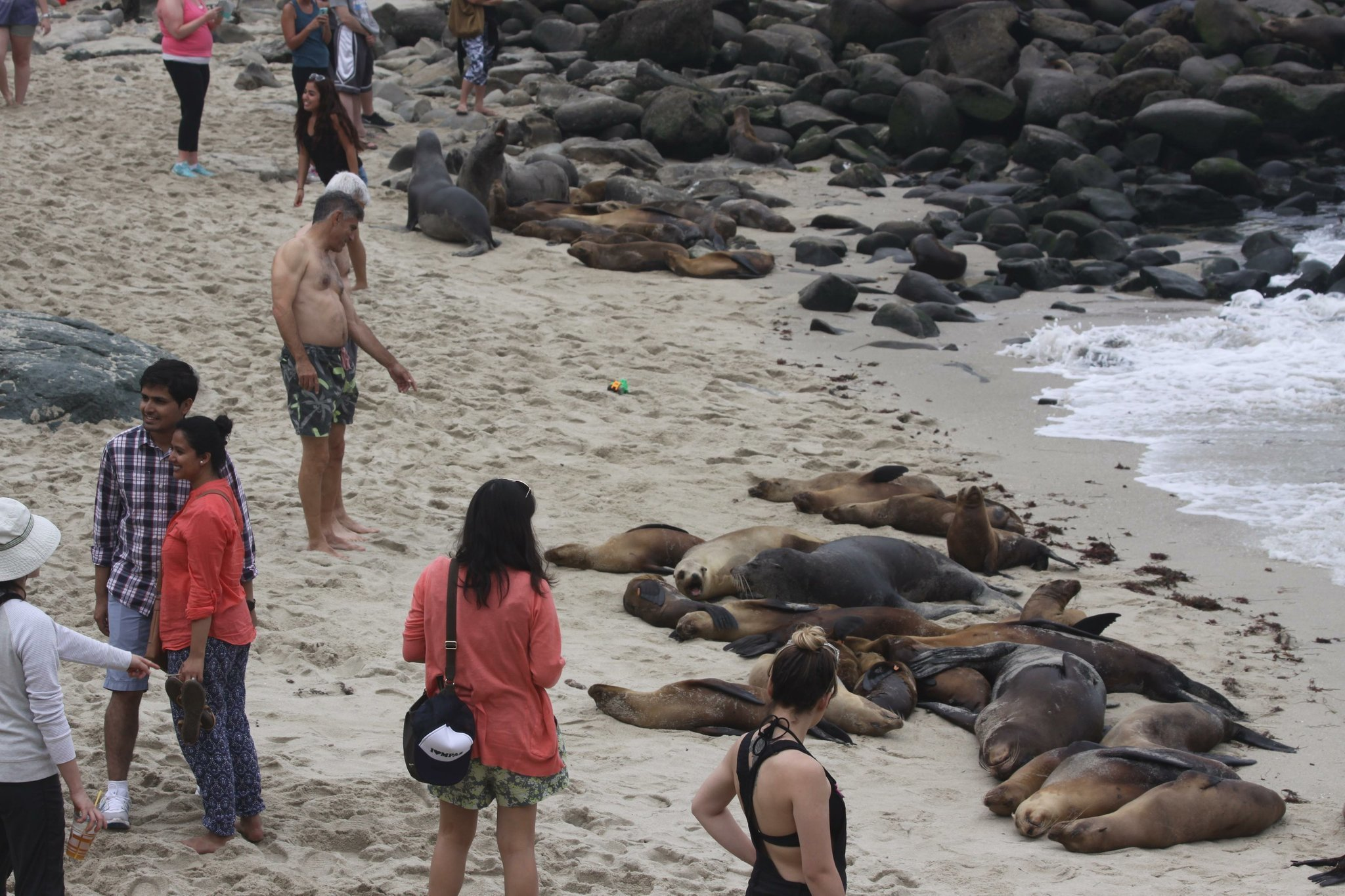 City Handed Sea Lion Expert S Findings La Jolla Light