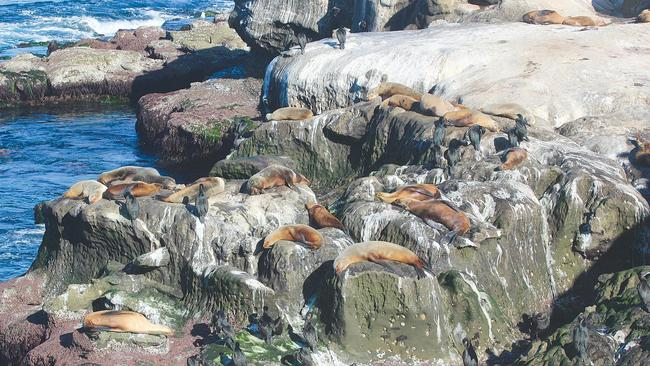 The Growing Number Of Sea Lions Along Cliffs At La Jolla Cove Is Causing Problems