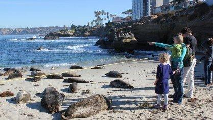 People View Harbor Seals At Children S Pool Dec 30 The Planning Commission Rejected A