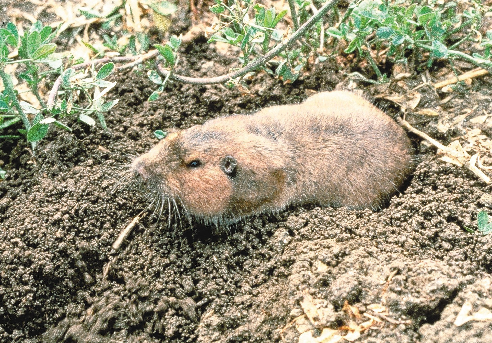 Singles in gopher or