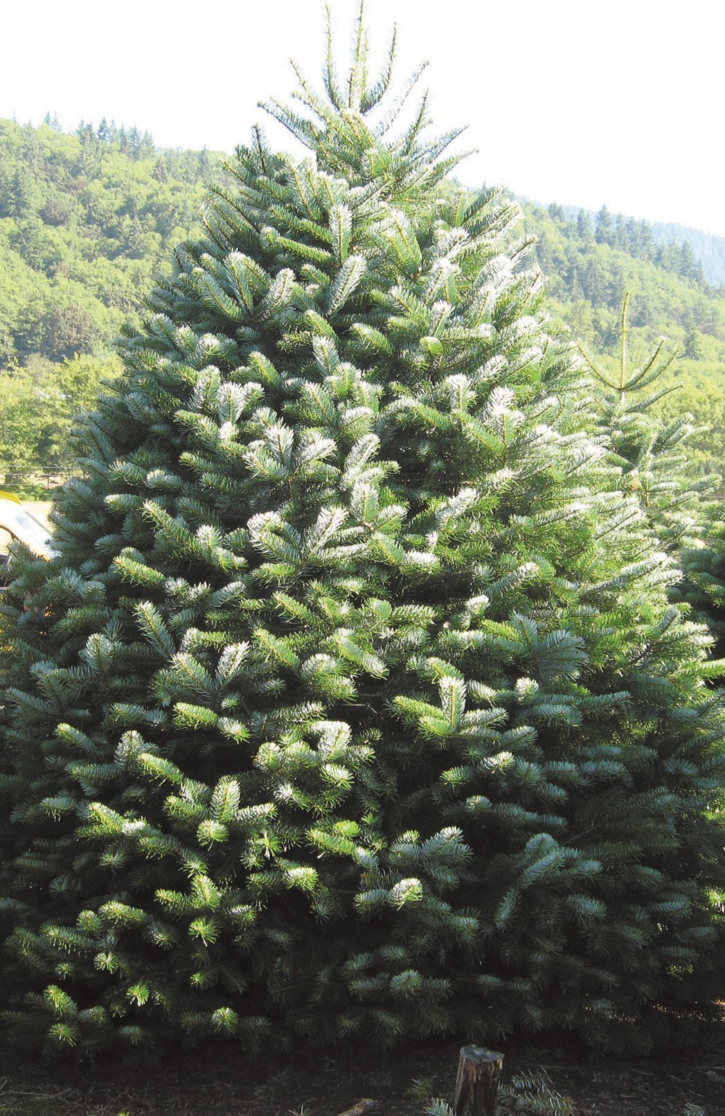 Growing Dialogue: Picking the best Christmas tree - The ...