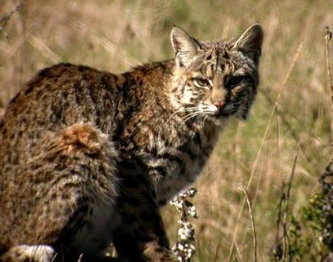 Bobcat Hunts Trapping Threatened In California The San
