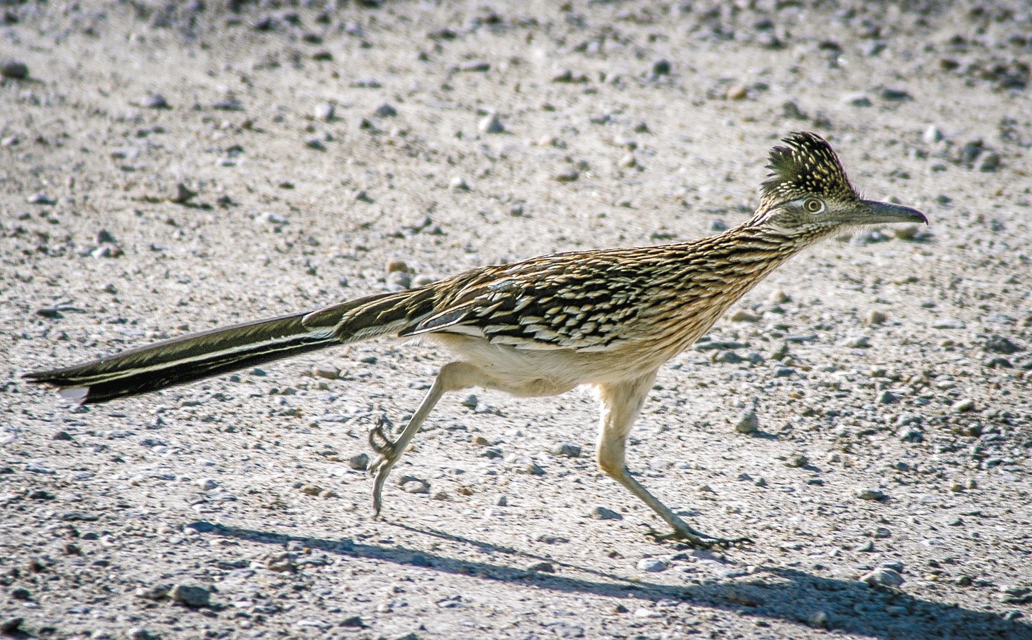 County S Roadrunners Zip Along From Coast To Desert The
