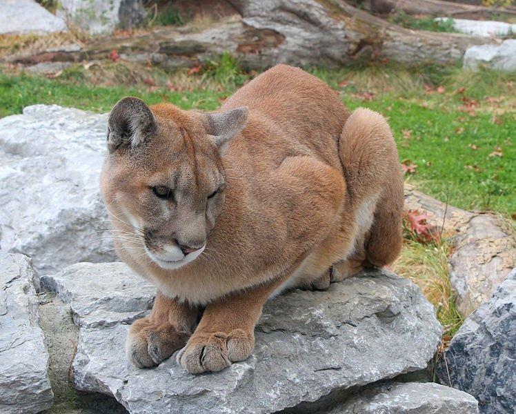 California Cougar Killed For Stalking Family The San Diego Union Tribune