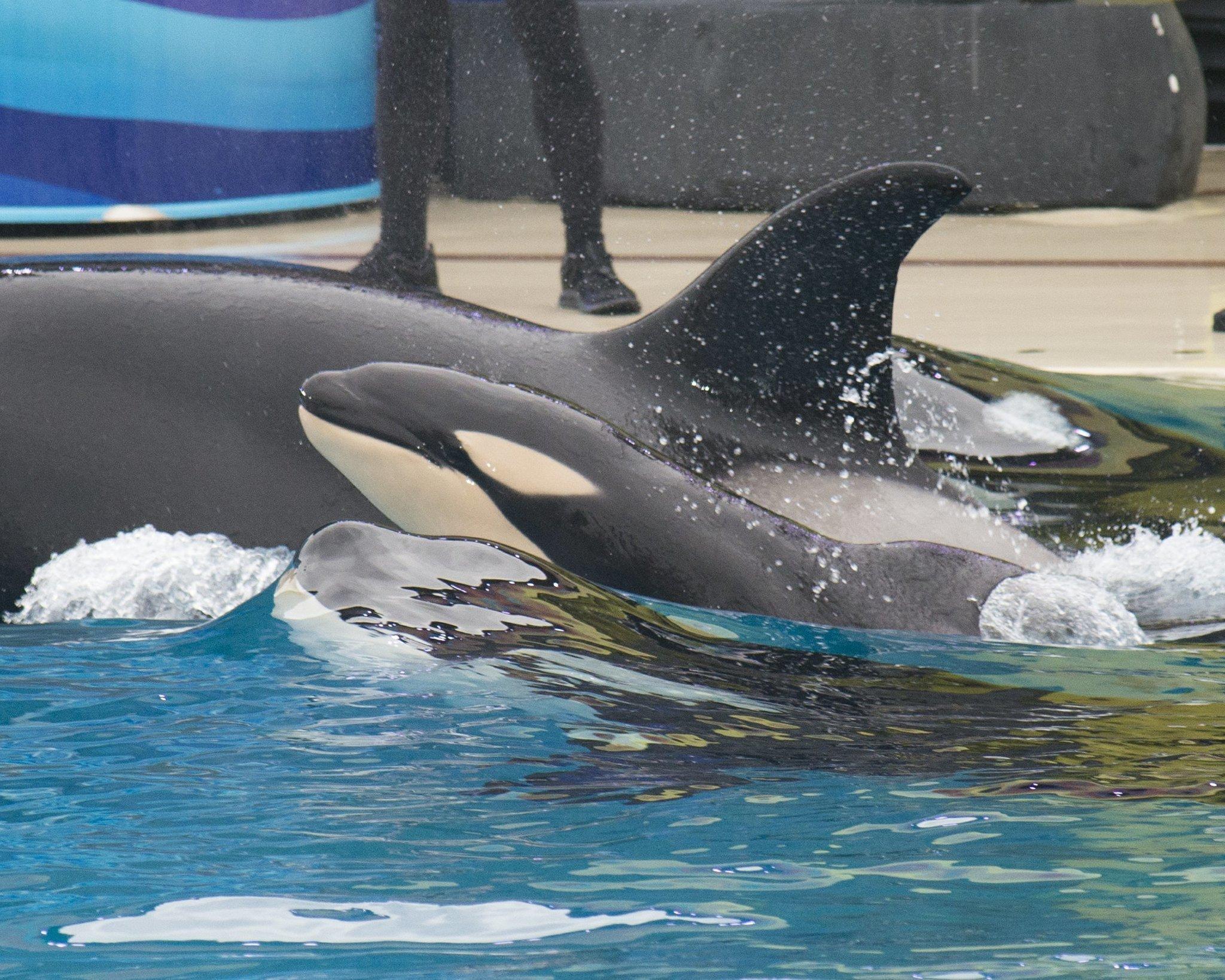 Baby killer whale born at SeaWorld San Diego to Kalia ...