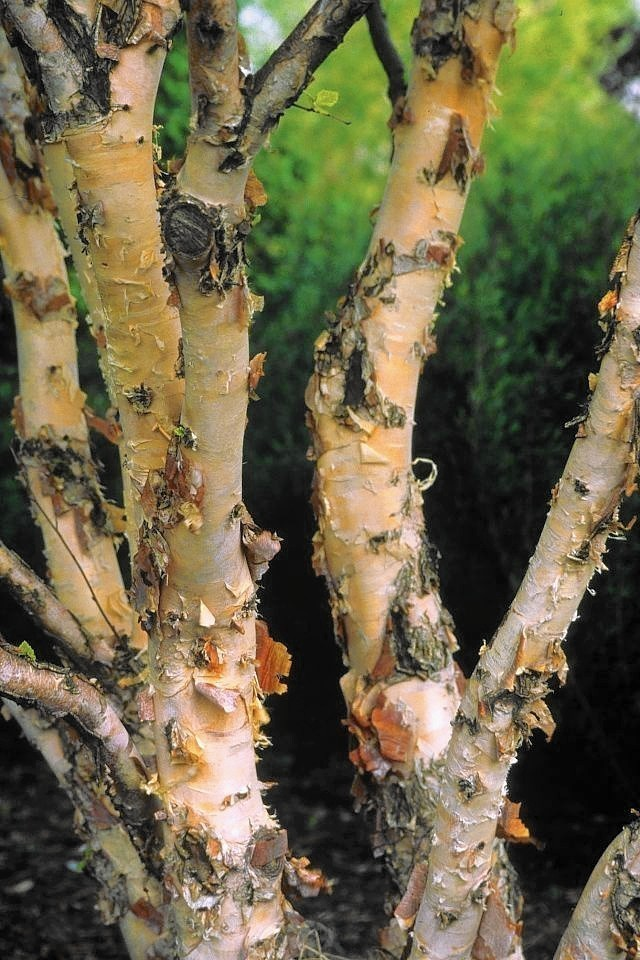 River Birch Might Be A Lost Cause Chicago Tribune