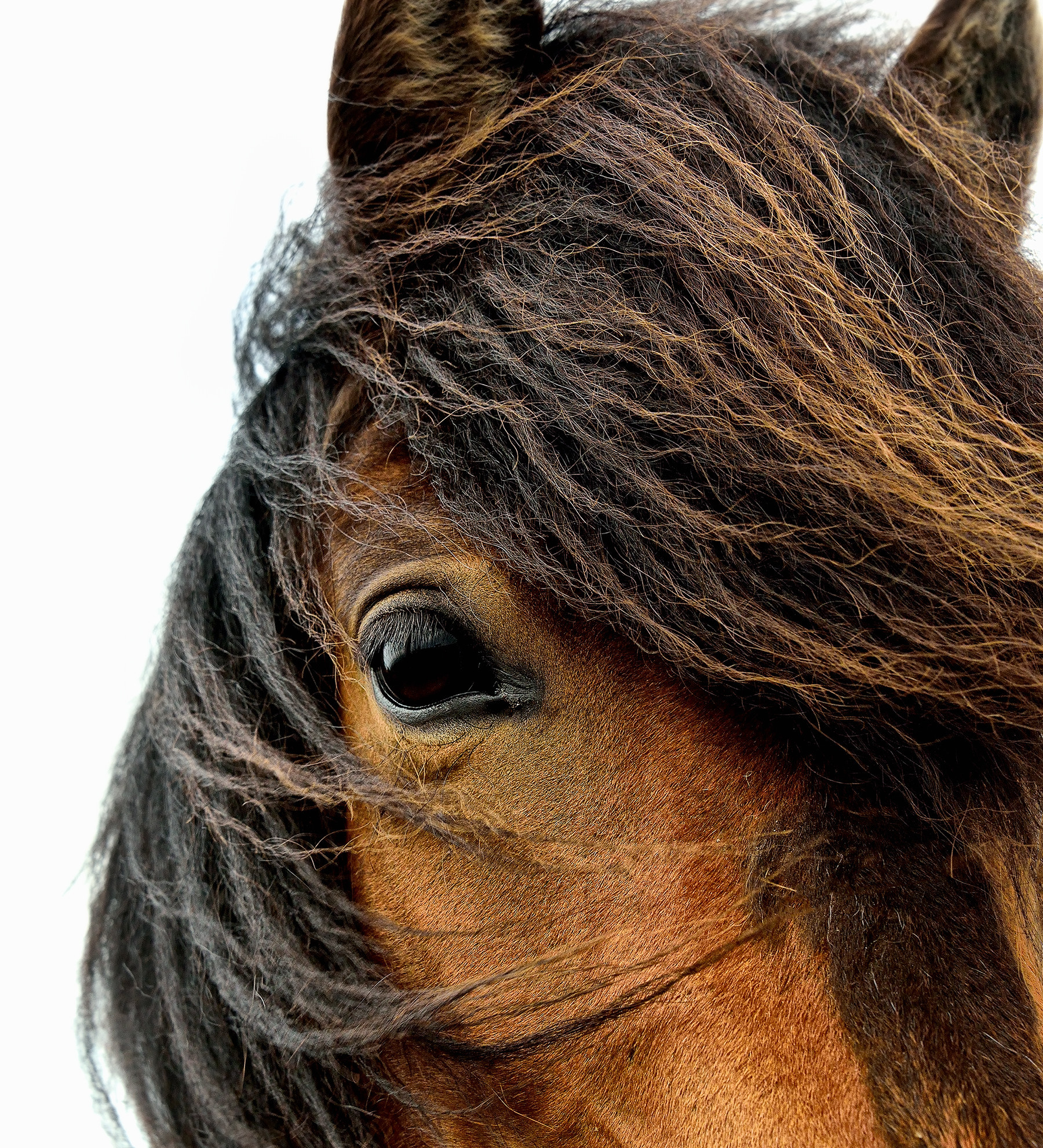 Close-up of a horse in Iceland