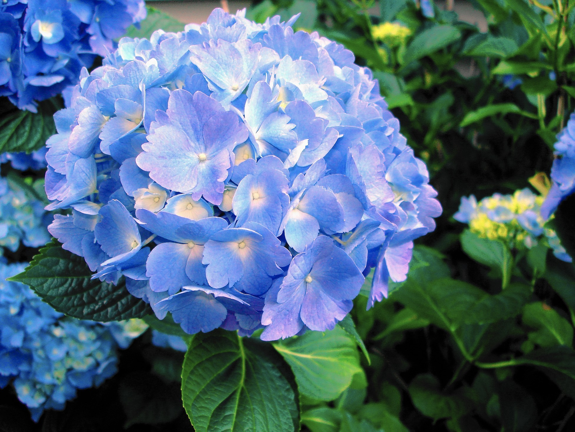 Garden Tips For Growing Hydrangeas In Pots The Morning Call