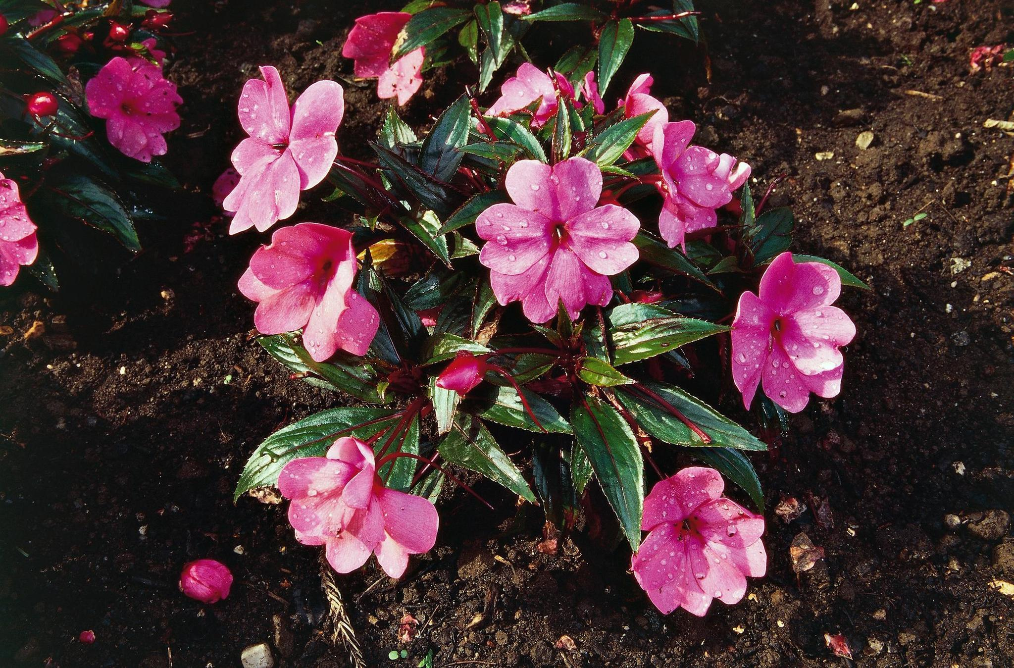 Gardening How To Bring Impatiens Inside For The Winter The
