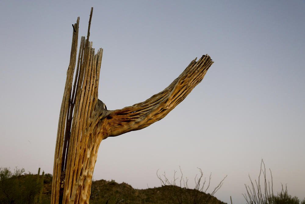 The wood skeleton of a saguaro shows the intricate inner beauty of the giant cactus after death.