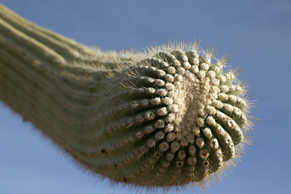 The arm of a saguaro cactus takes a slight twist.
