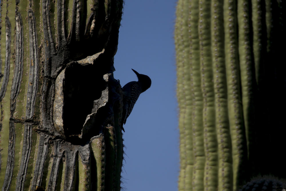 A gila woodpecker works on a hole in a saguaro cactus.