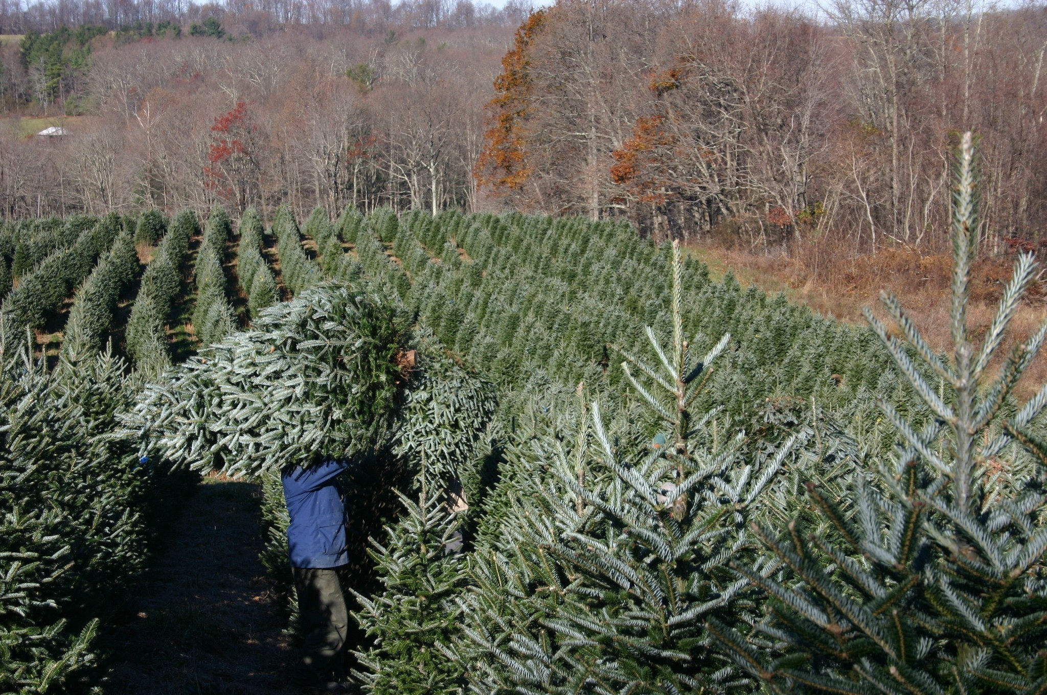 Find Your Perfect Christmas Tree At Cut-and-choose Farms