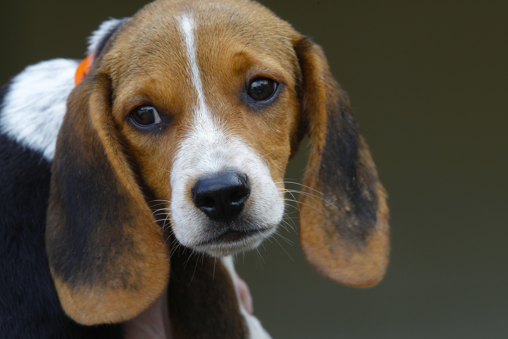 Beagles Rescued From Puppy Mill Arrive At Encinitas