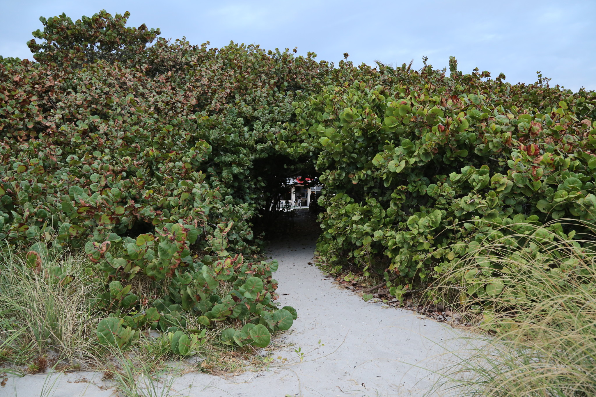 Sea Grapes On Delray S Beaches May Be Trimmed To Shrubs To