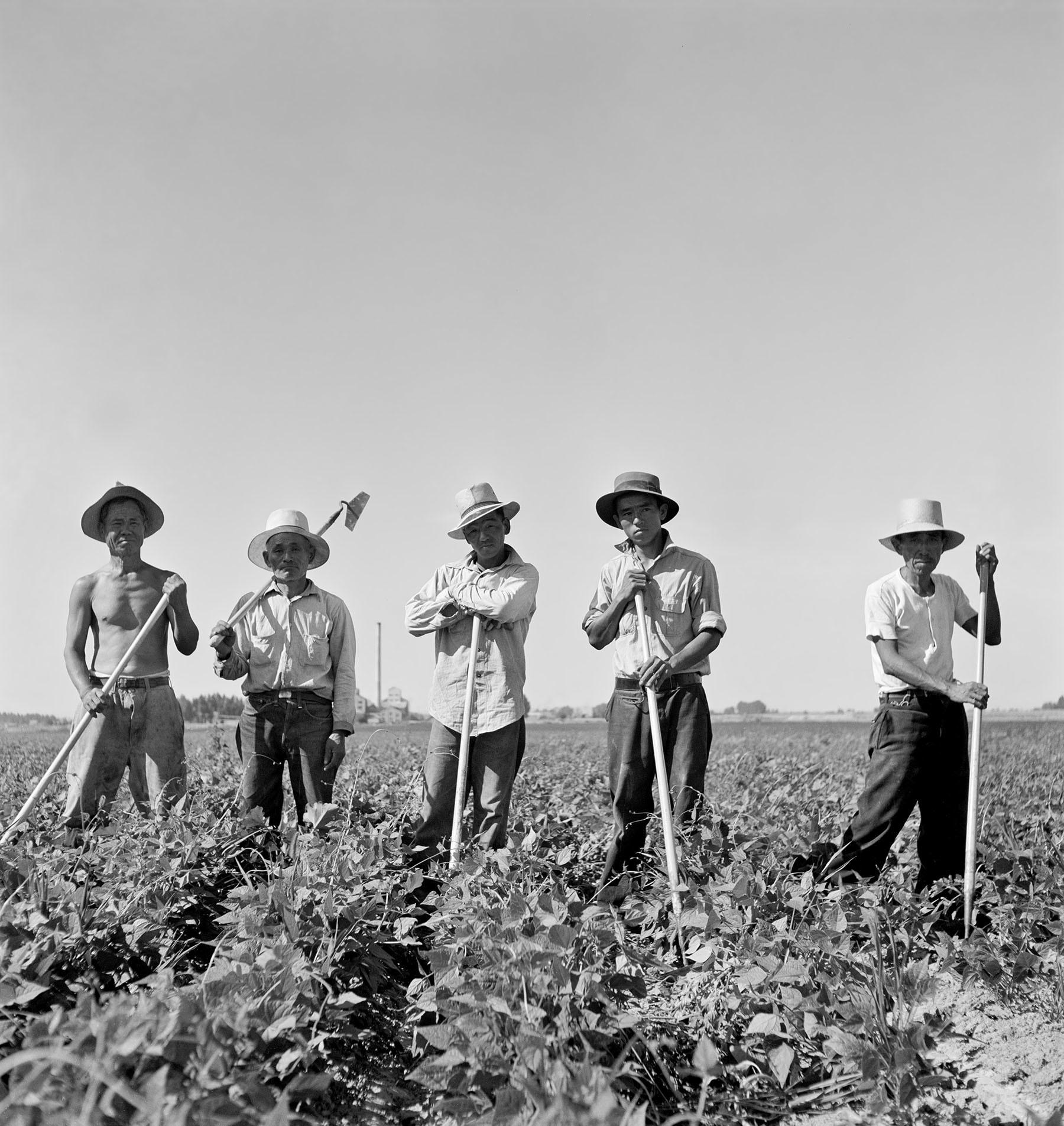 Laborers in sugar beet fields outside of Shelley, Idaho, in 1942.
