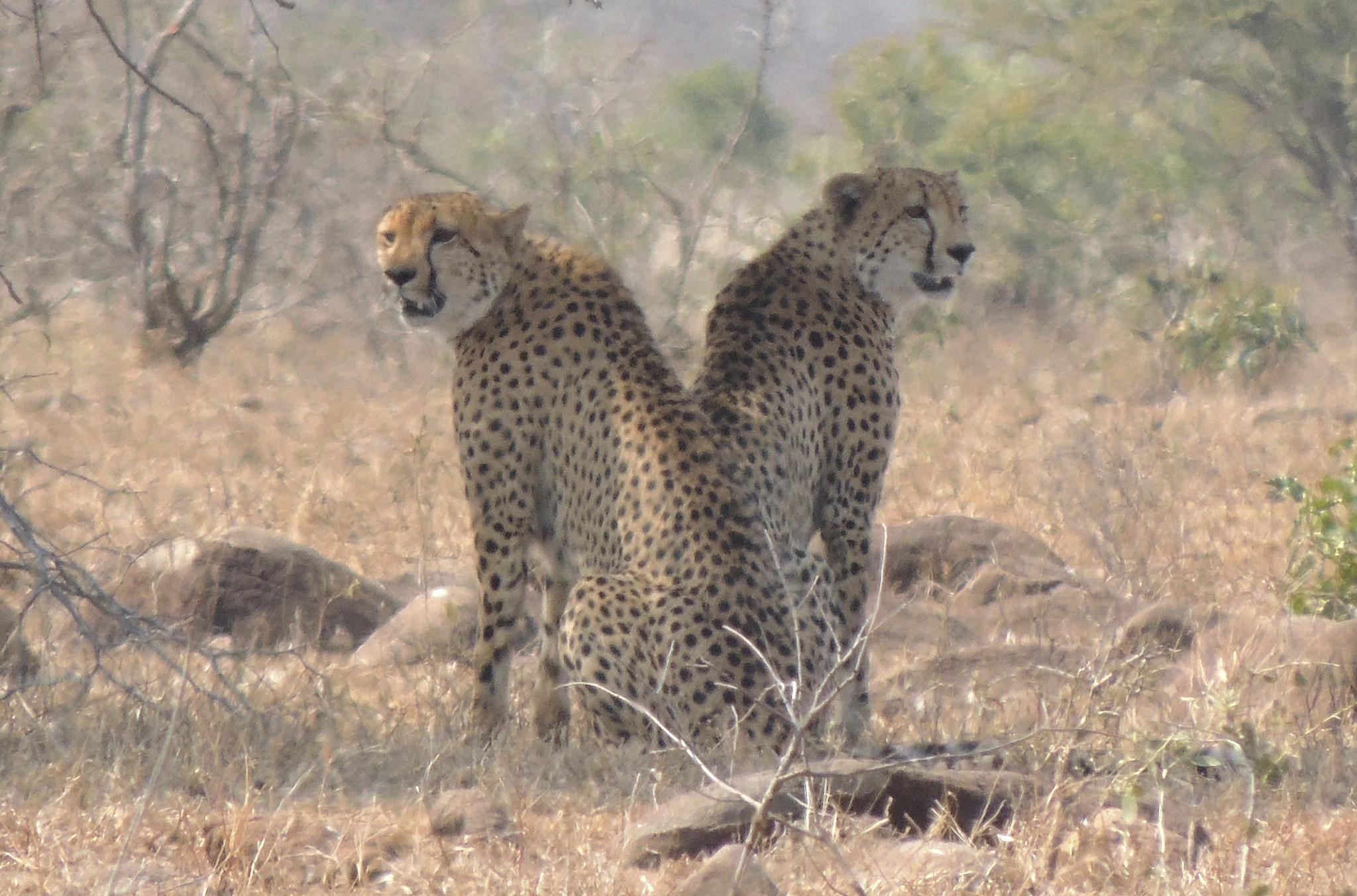 cheetah population plummeting toward extinction chicago tribune