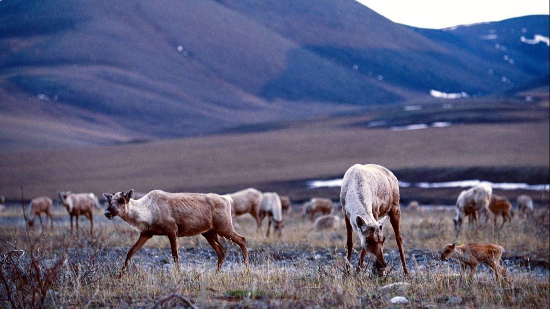 drilling arctic national wildlife refuge essay