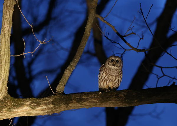 On The Prowl For Owls In Illinois Chicago Tribune