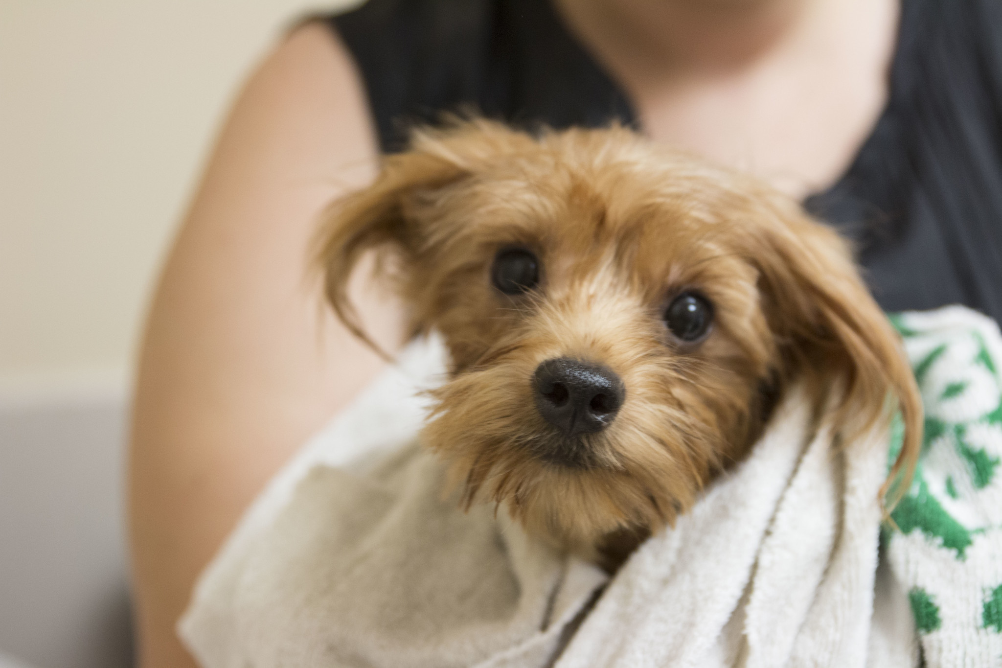 Rescued Yorkies Now Up To 123 The San Diego Union Tribune