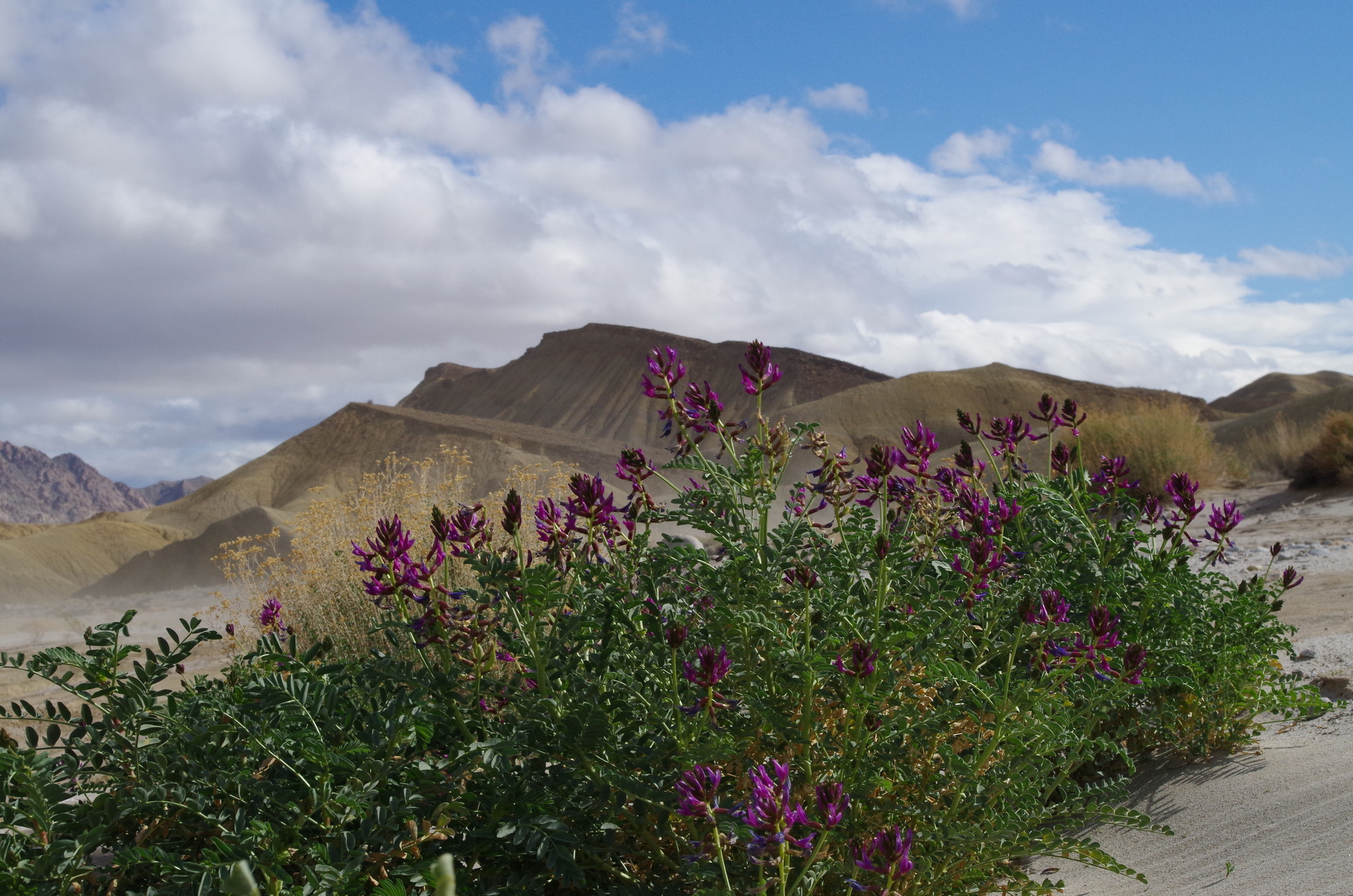 A plant called milk vetch is blooming this wildflower season in the Fish Creek area of Anza-Borrego Desert State Park.