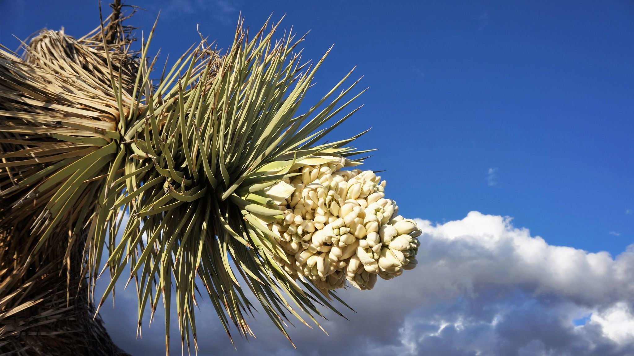A Joshua tree in bloom near the national park east of Los Angeles.