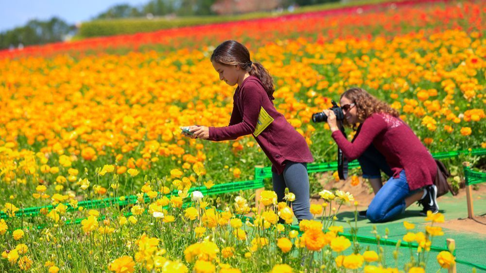 7 Things You Need To Know About The Flower Fields In Carlsbad San Go Union Tribune