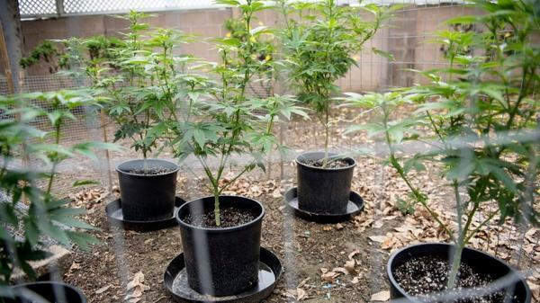 Five cannabis plants grow in the backyard of a Southern California resident's backyard on Friday, Feb. 10, 2017.