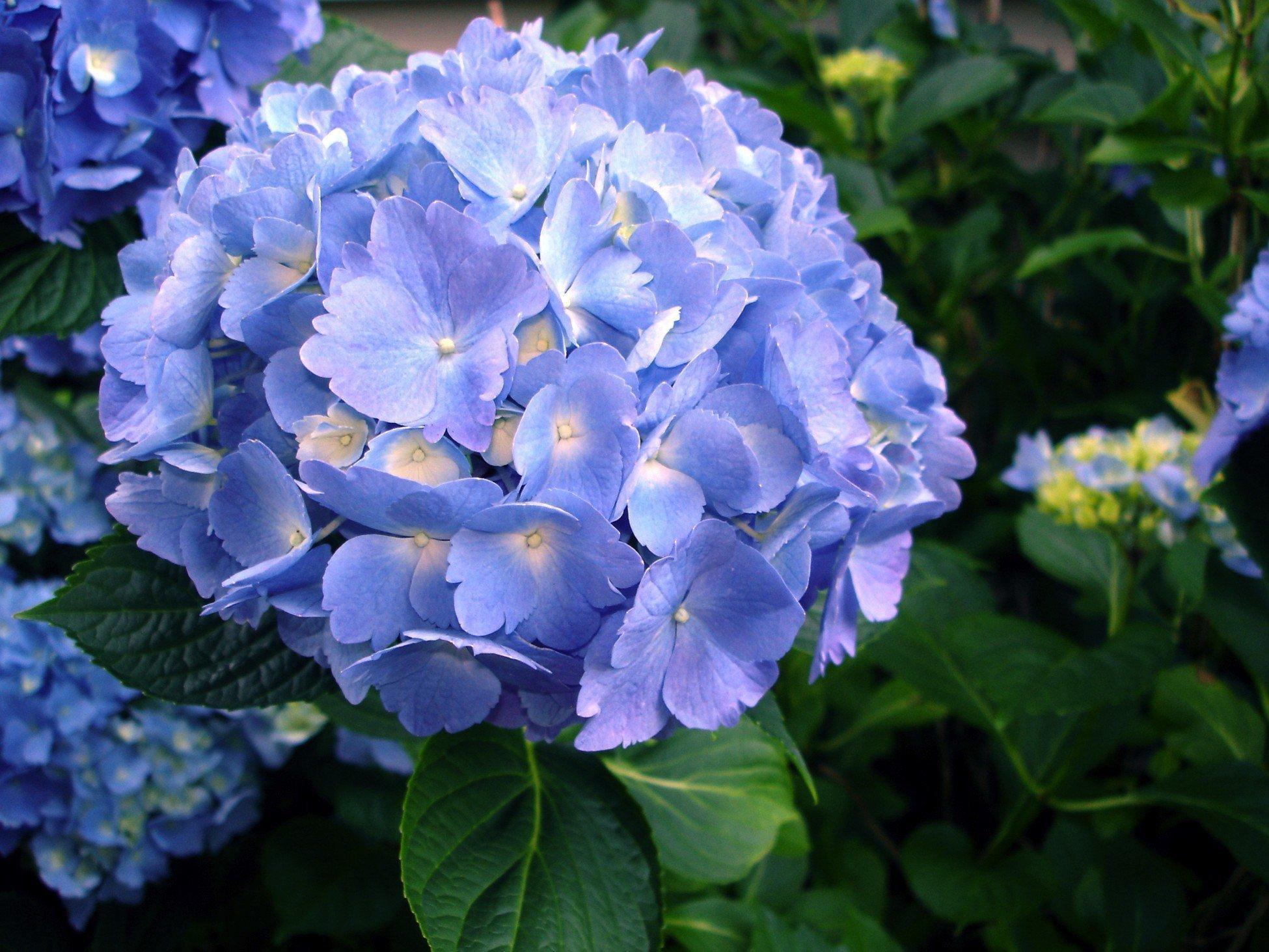 Gardening Tips For Pruning Hydrangea Bushes The Morning