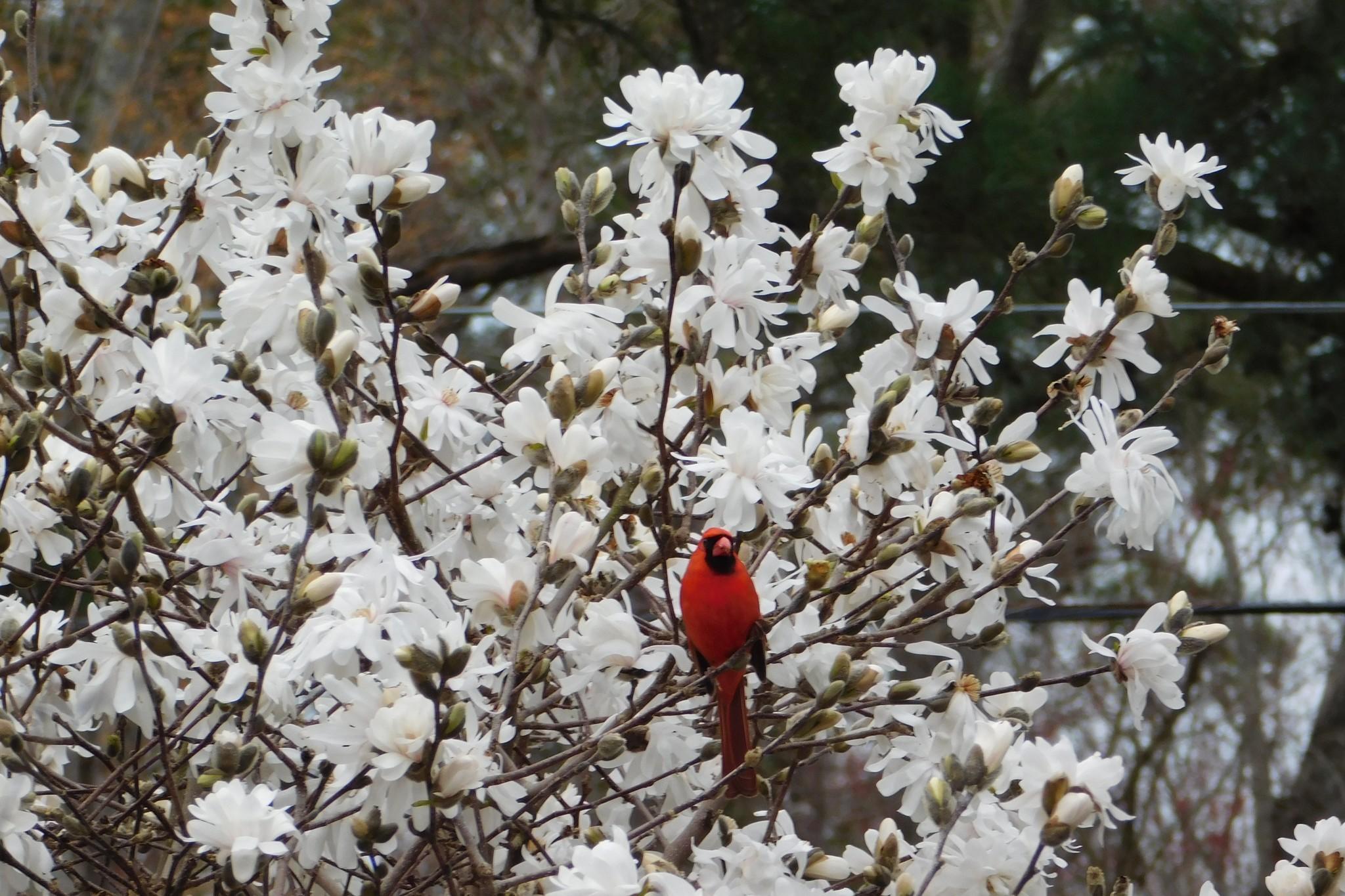 Cardinal In Star Magnolia Tree The Virginia Gazette