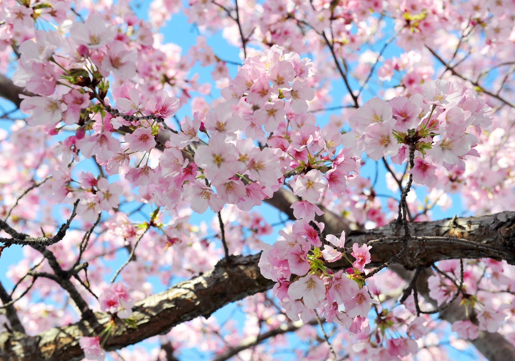 Cherry Blossoms Could Be Seriously Damaged By Upcoming Cold Snap The Morning Call