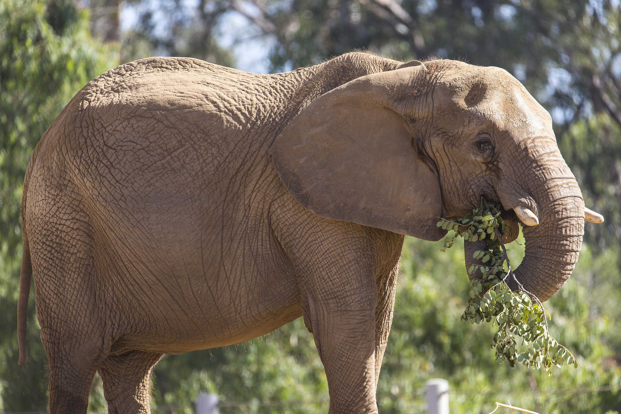 Mila the African elephant, once a circus performer, dies ...
