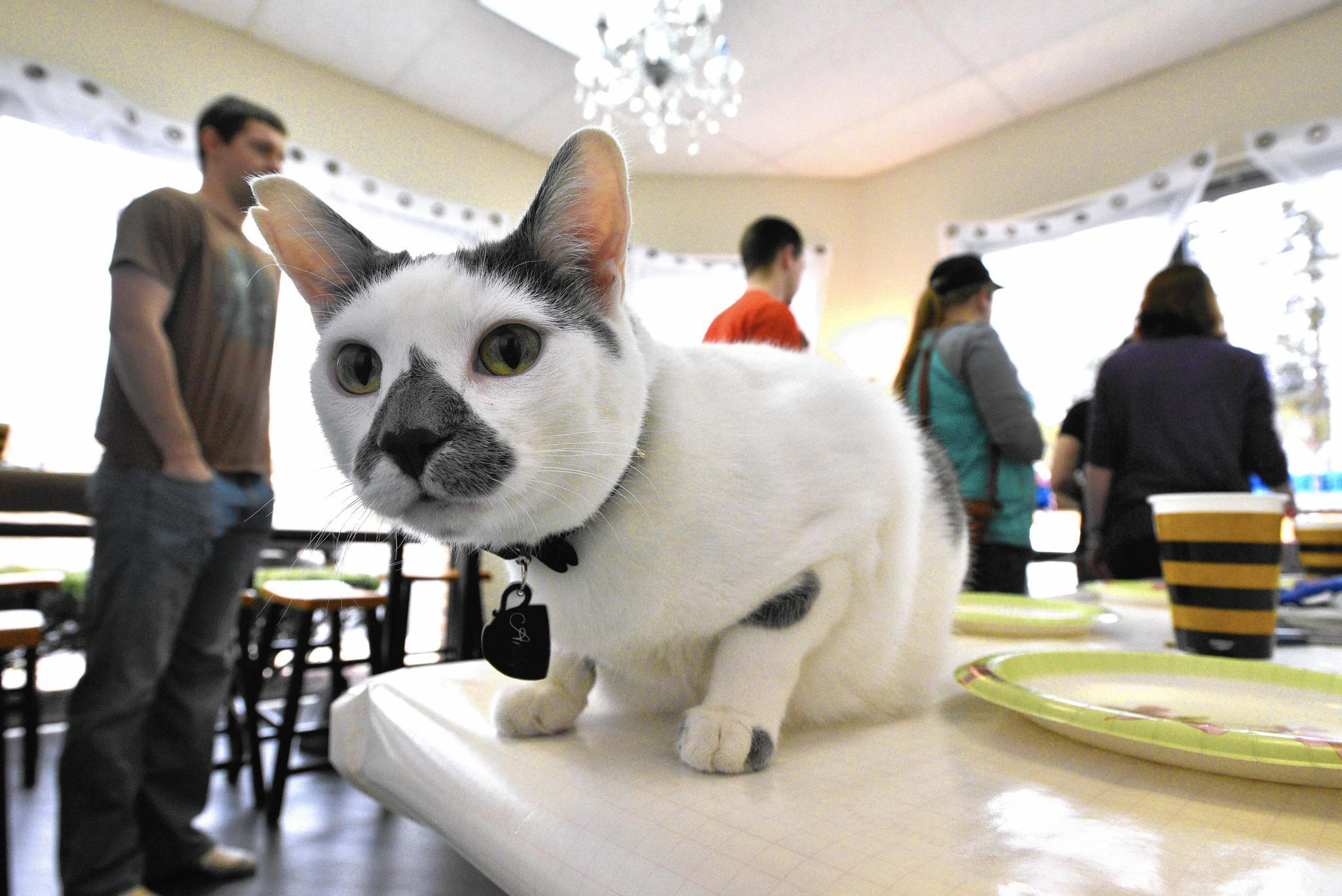 annapolis cat cafe hopes to find purrfect home for its
