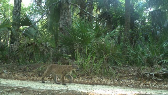 Rare Florida panther attacks, kills cat in front yard of