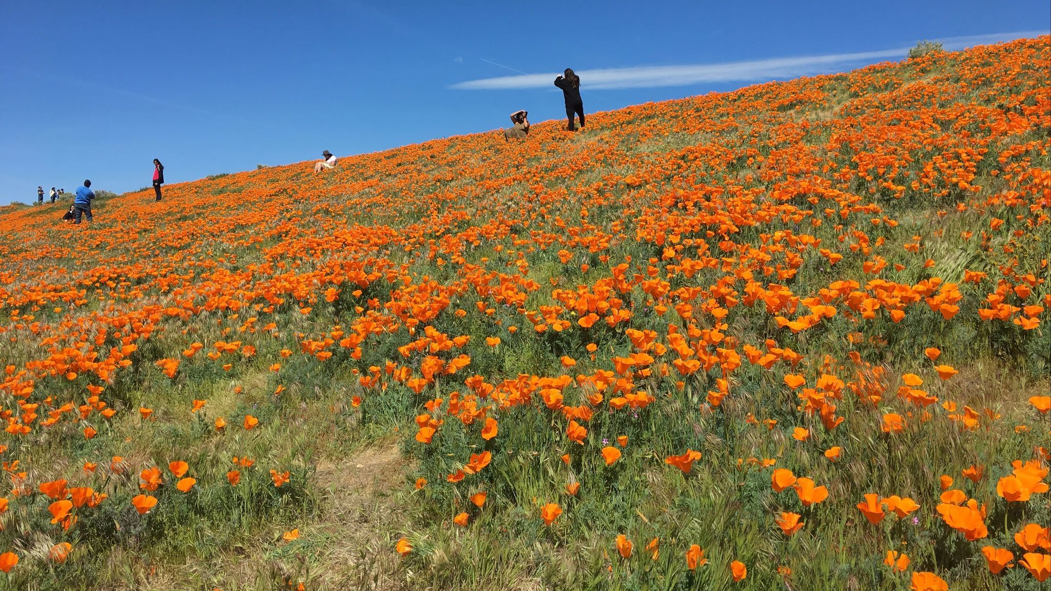People stop at the site of California poppies in roads around Lancaster.