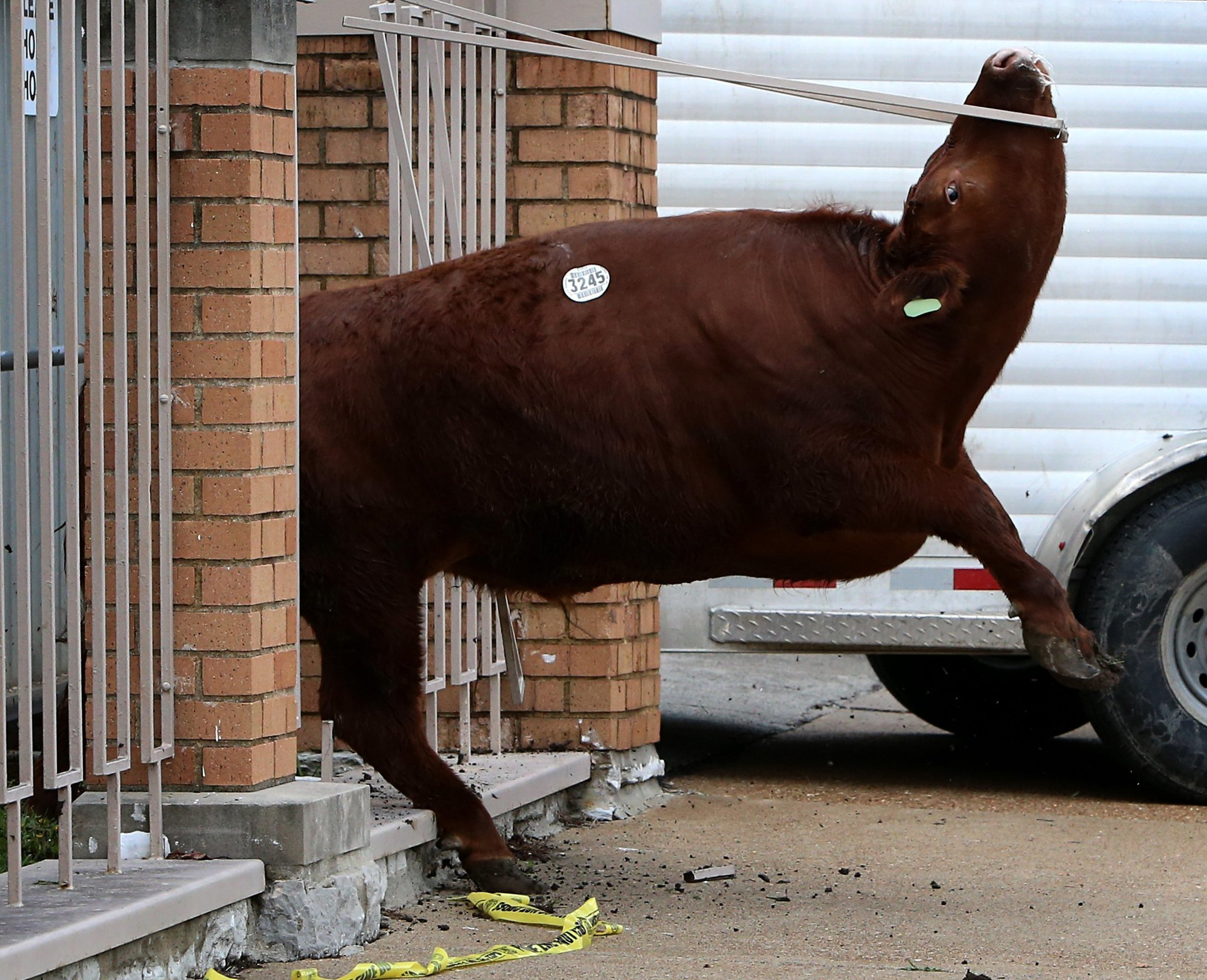 Escape Of Cattle From St Louis Slaughterhouse Spurs Hours