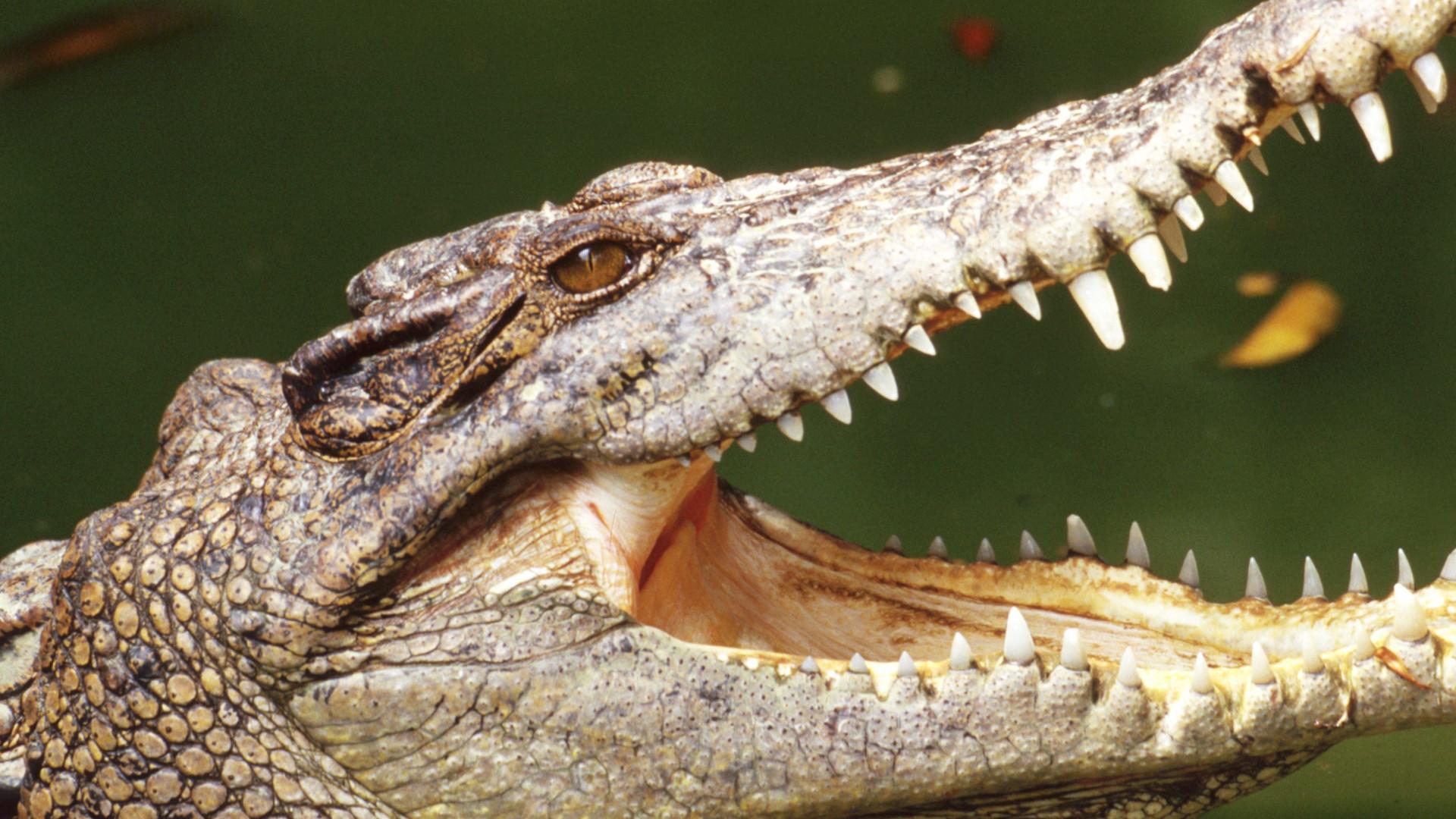 Florida Highway Patrol Traffic >> American crocodile run over, killed in the Florida Keys ...