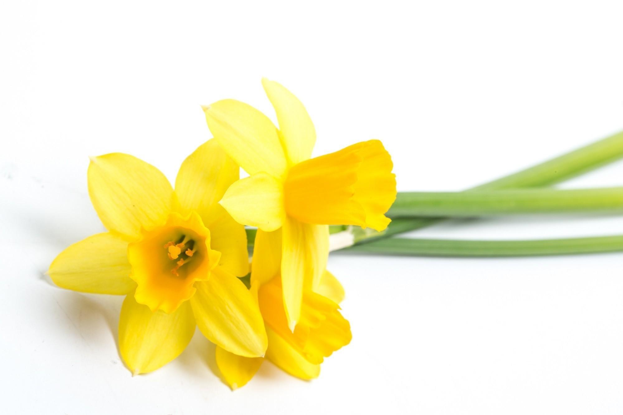 daffodil day - photo #39