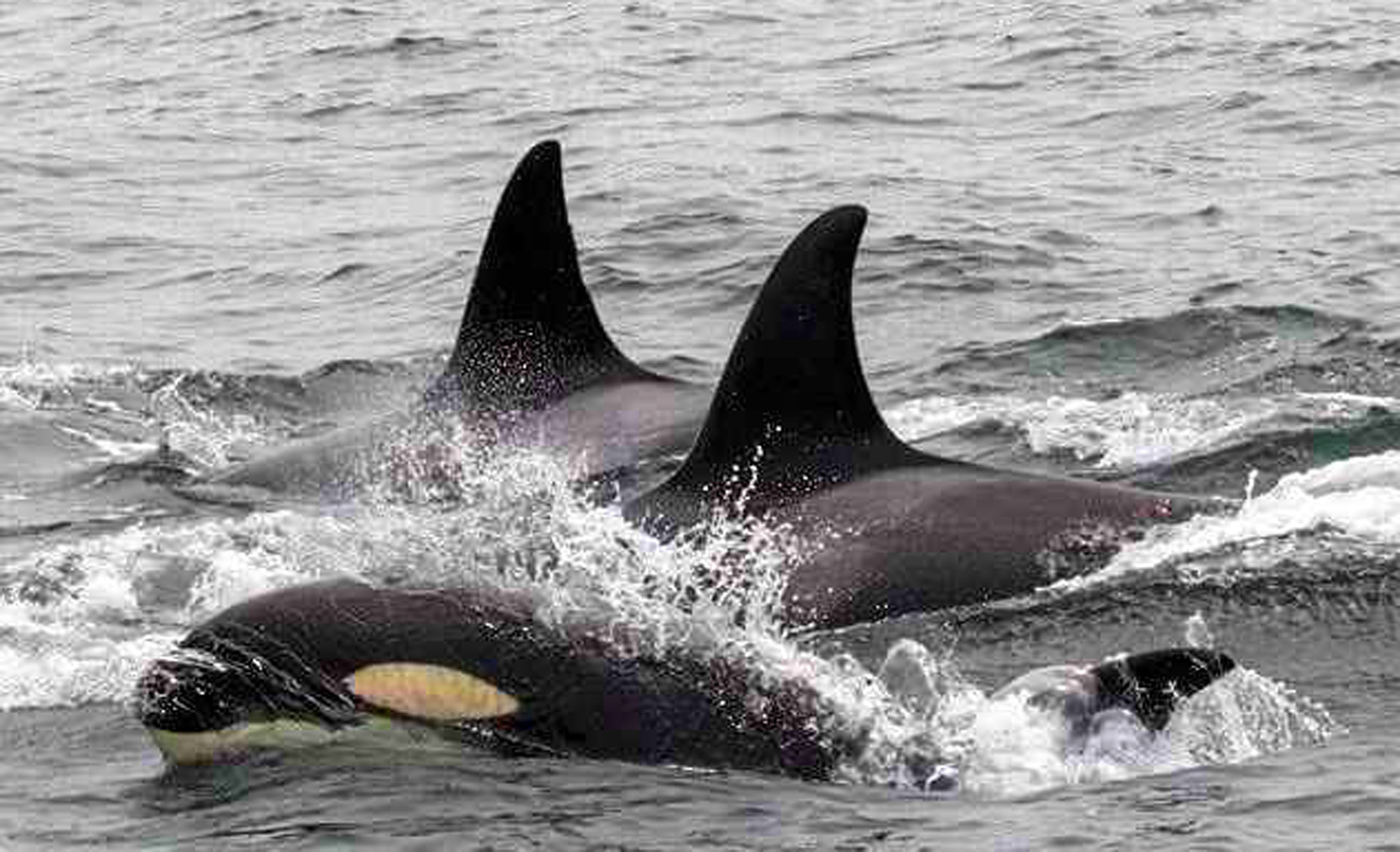 Biologist  Orcas On Killing Spree  Attacking Gray Whale