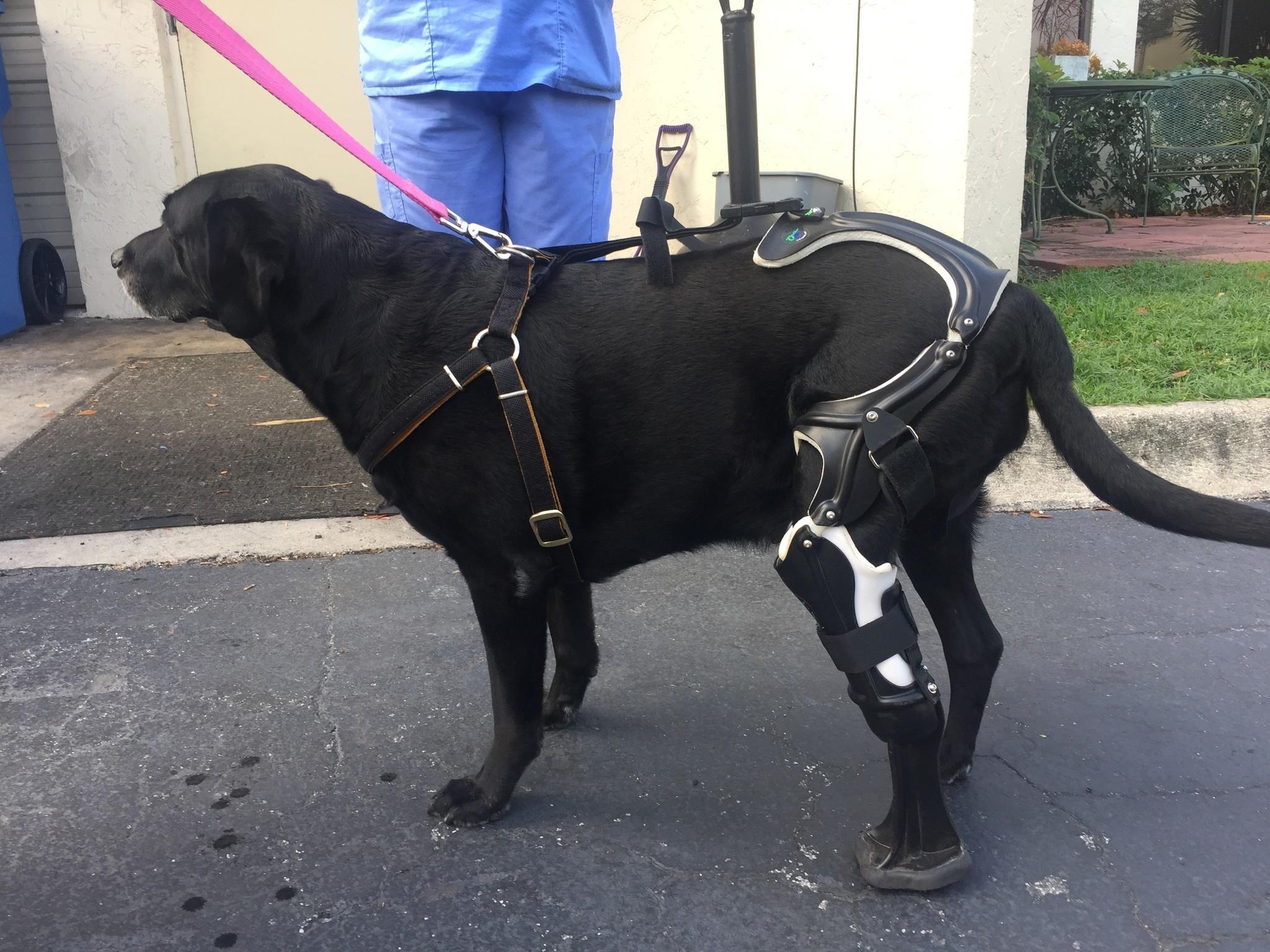 prosthetic leg gives injured dog new leash on life