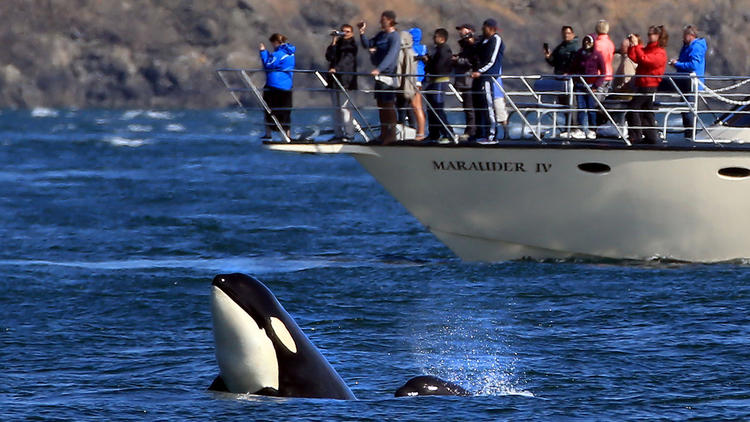 A quick peak by the adult Killer Whale to see what's up as the young whale keeps up in this pod of K