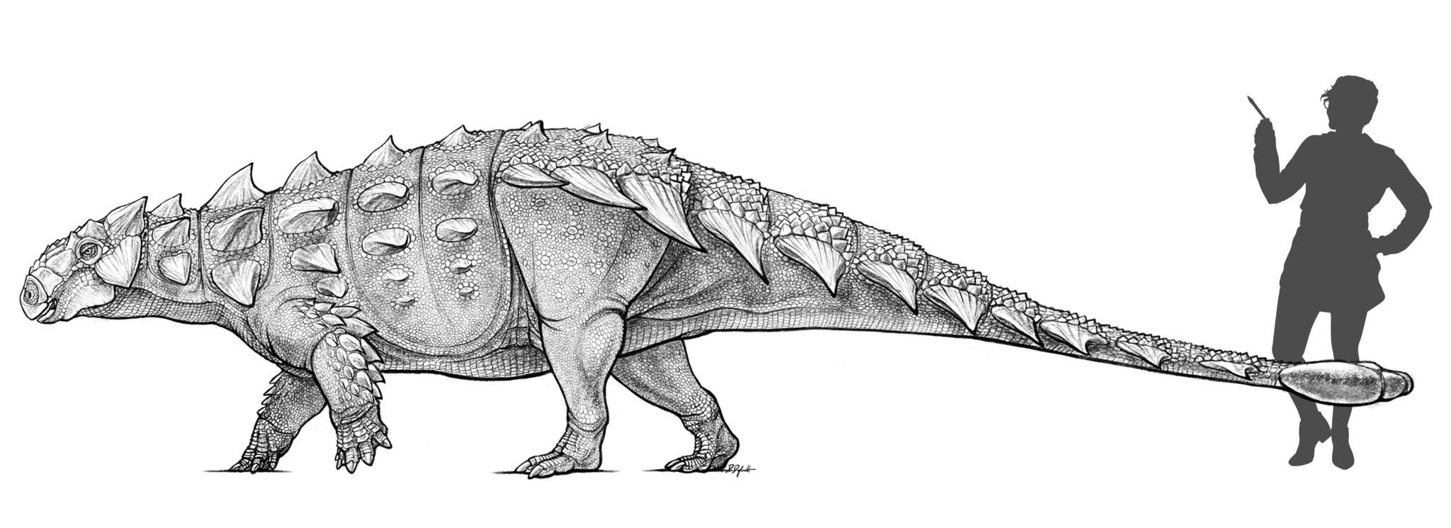 Size comparison of Zuul crurivastator and a modern human.