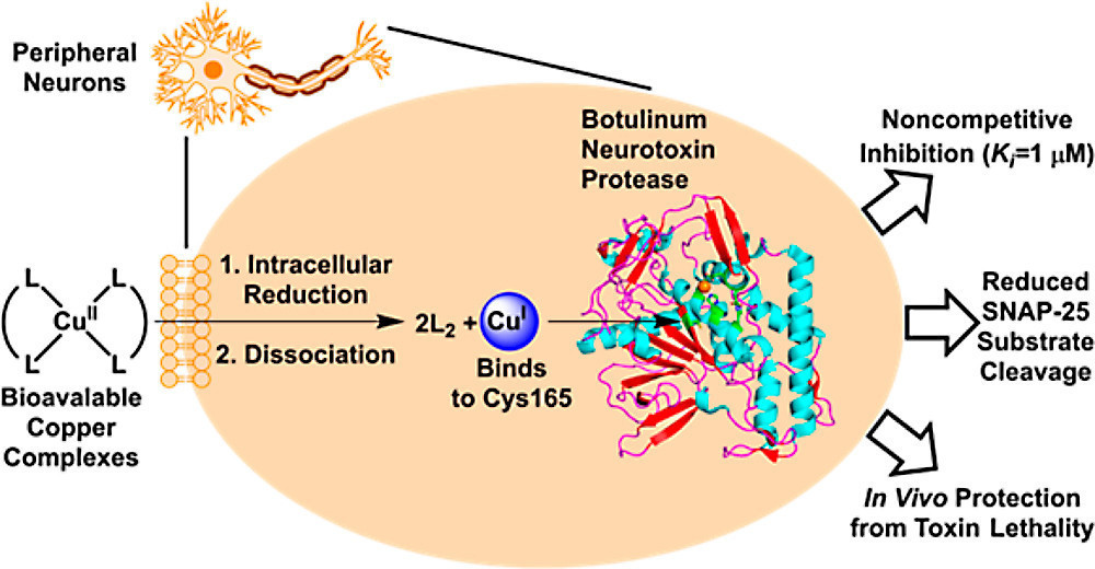heavy metals fight botulism poisoning in animal study the san