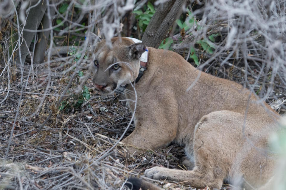 P-12 has fathered at least eight litters of mountain lions