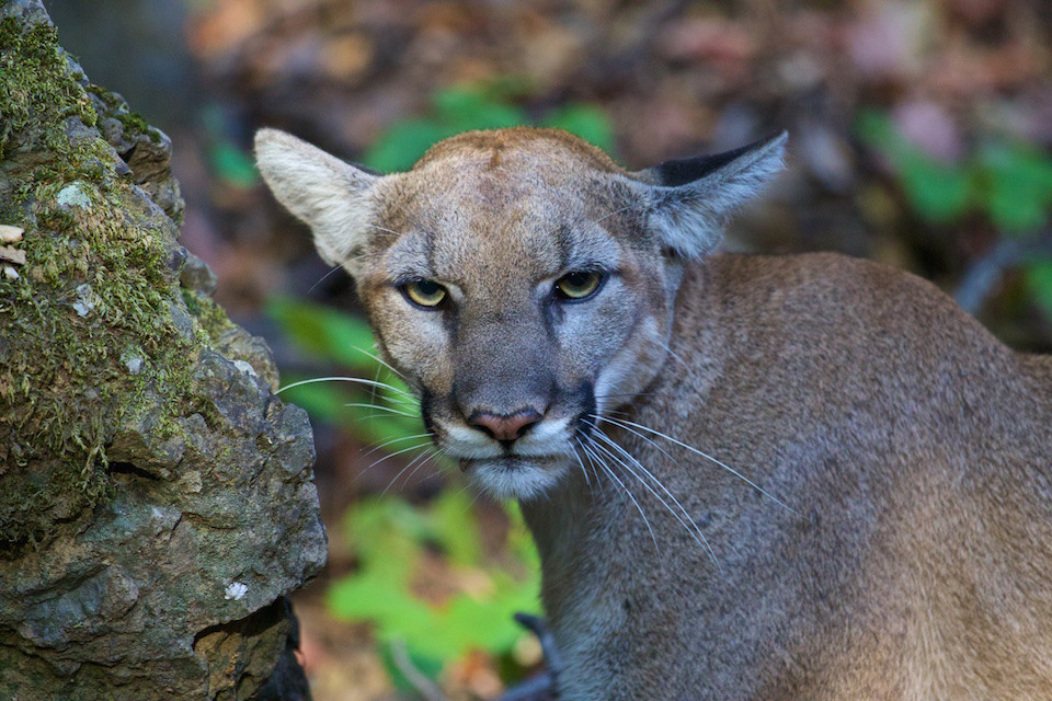 P-42, a young female mountain lion, was spotted near Malibu Creek State Park in July 2015.