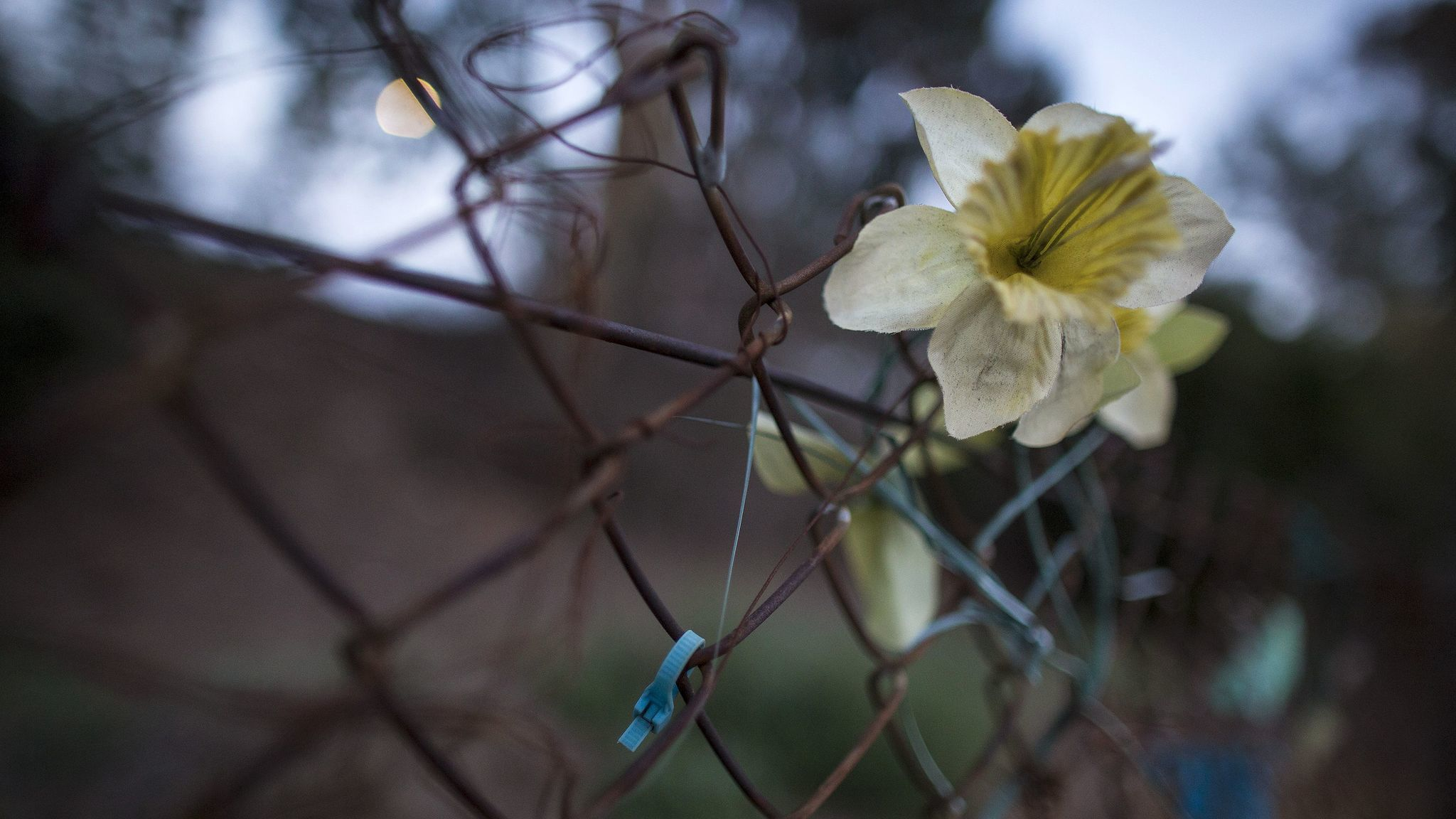 Faded silk flowers and ribbons are tied to a fence near where Bree'Anna Guzman's body was found alongside Riverside Drive in Los Angeles.
