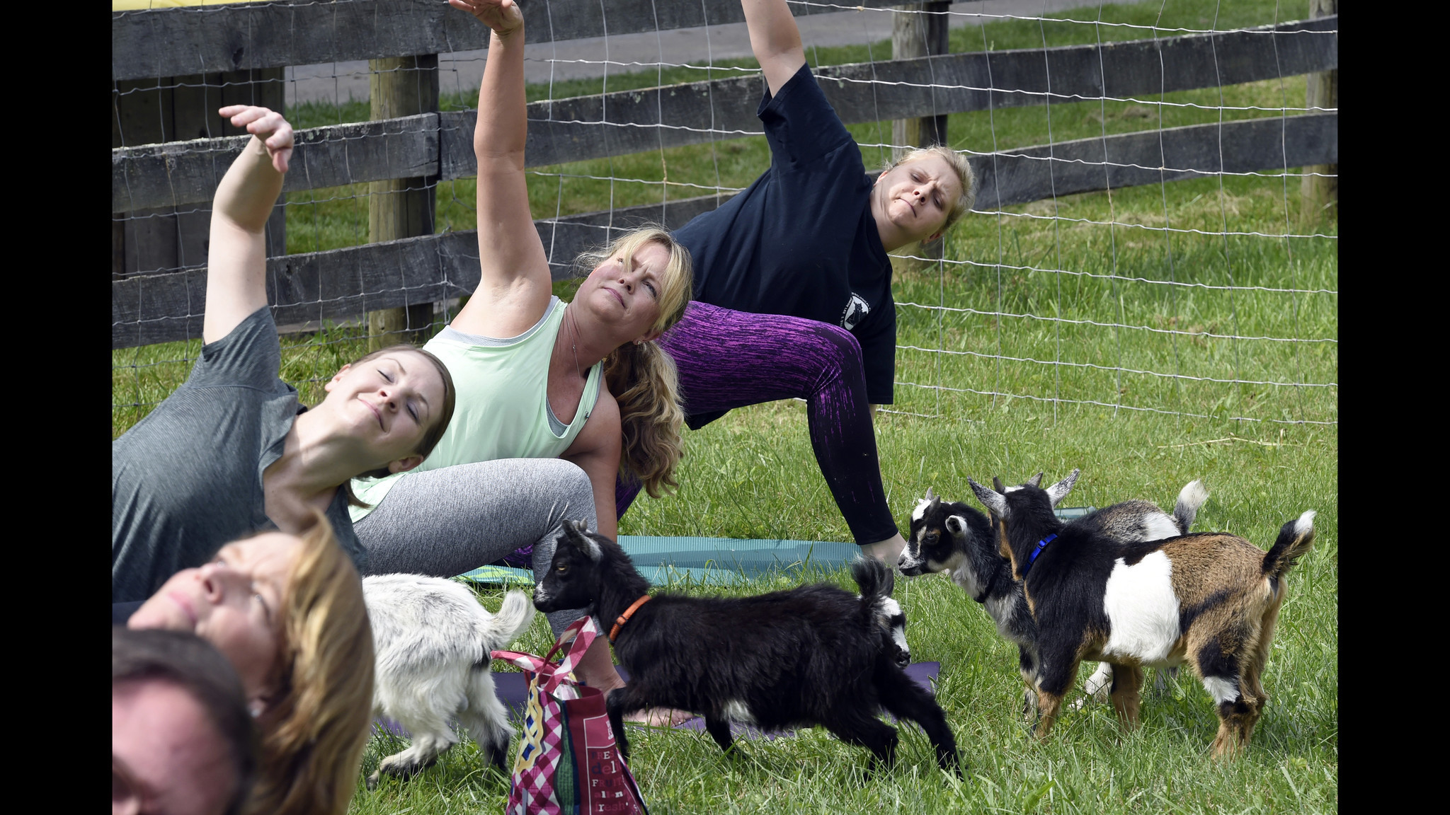 Herd Mentality Goat Yoga Is Gaining Popularity In