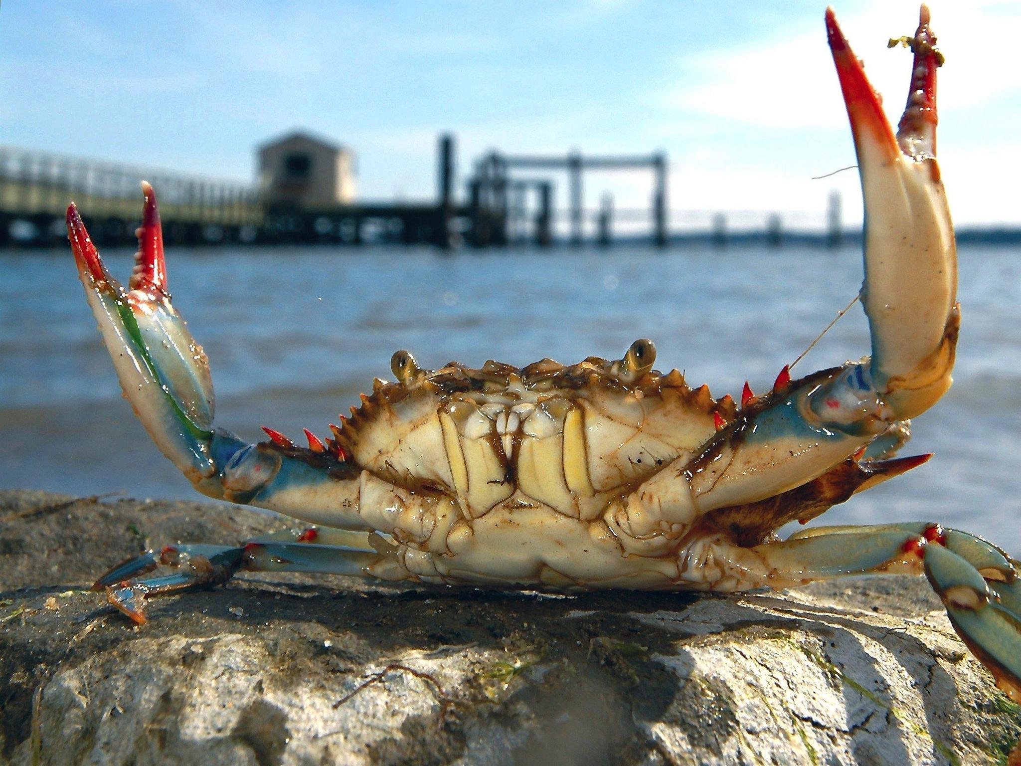 virginia marine resources commission cuts crab season scales back